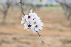 Almonds. Details of the almond blossom on the branch stock images