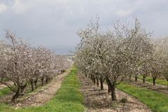 Almonds Field. Pretty almonds trees Royalty Free Stock Images