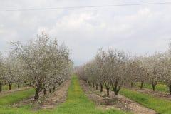 Almonds Field. Pretty almonds trees Royalty Free Stock Photos