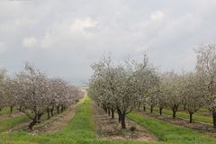 Almonds Field. Spring time, beautiful view of an almonds Royalty Free Stock Photos