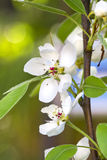 Almonds flower Royalty Free Stock Photo