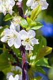 Almonds flower Royalty Free Stock Photography