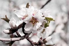 Almonds flowers blossom in trendy soft toning and style on blurred background. Spring tree with flowers and buds. Almonds peach flowers blossom in trendy soft Stock Photography