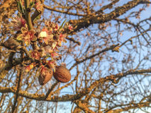Almonds and flowers in the same tree branch Stock Images