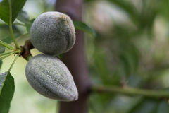Almonds growing on branch Royalty Free Stock Images