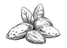 Almonds illustration. Black and white version royalty free stock photos