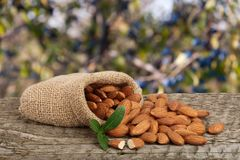 Almonds with leaf in bag from sacking on a wooden table with blurred garden background.  Stock Photos