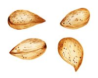 Almonds in the nutshell. Watercolor images of almonds in the nutshell on white background royalty free stock images