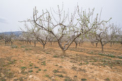 ALmonds. Planting of almond trees in a rural area royalty free stock images
