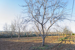 Almonds. Planting young almond trees in the field stock image
