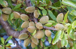 Almonds ripening on the tree Royalty Free Stock Photography