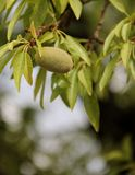 Almonds in Shell. A Almond still in it's shell growing on a tree at Gorge du Dades, Morocco stock photography
