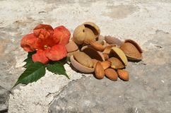 Almonds, shells and flower Royalty Free Stock Photography