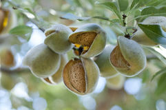 Almonds on tree Royalty Free Stock Photo