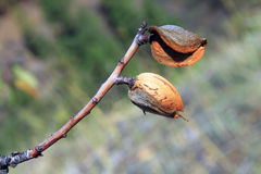 Almonds tree Stock Images