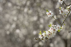 Almonds tree blossom stock images
