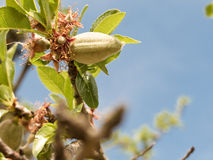 Almonds on tree Royalty Free Stock Photography