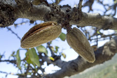 Almonds in tree Stock Image