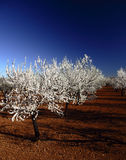 Almonds tree in Mallorca. Almonds tree plantation in Mallorca. Red soil and blue cloudless sky Stock Photography