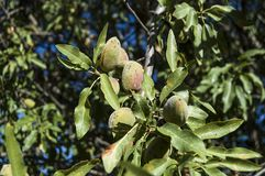 Almonds in the tree, natural almonds, almonds began to mature, almond fruit on the tree, stock photo