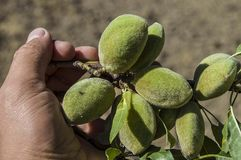 Almonds in the tree, natural almonds, almonds began to mature, almond fruit on the tree,.  Royalty Free Stock Photography