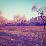 Almonds Tree Stock Photography