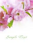 Almonds trilobate Stock Image
