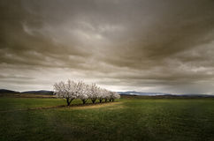Almonds under the Storm Royalty Free Stock Photo