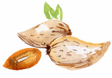 Almonds in watercolor Royalty Free Stock Image