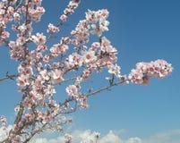 Almondtrees fotos de archivo