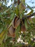 Almons nell'albero Fotografia Stock Libera da Diritti