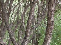 Almträdstammar Arkivfoto