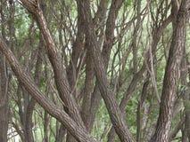 Almträdstammar Arkivfoton