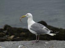 Almuerzo de la gaviota Imagen de archivo libre de regalías