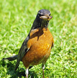 Almuerzo del pájaro Fotografía de archivo