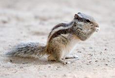 Almuerzo del roedor foto de archivo libre de regalías