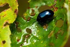 Alni di Agelastica dello scarabeo di foglia dell'ontano Immagini Stock Libere da Diritti