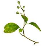 Alnus glutinosa Royalty Free Stock Photo
