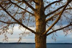 Alnus incana dell'ontano grigio all'inverno Fotografia Stock Libera da Diritti