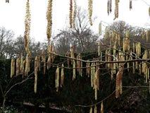 Alnus Serrulata, l'aulne noisette ou aulne lisse Famille : Betulaceae photos stock
