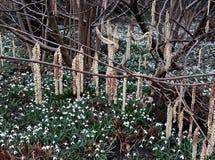 Alnus Serrulata, l'aulne noisette ou aulne lisse Famille : Betulaceae photographie stock libre de droits