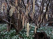 Alnus Serrulata, l'aulne noisette ou aulne lisse Famille : Betulaceae photos libres de droits
