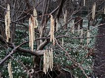 Alnus Serrulata, l'aulne noisette ou aulne lisse Famille : Betulaceae photographie stock