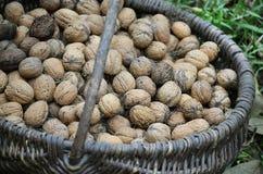 Alnuts Immagine Stock Libera da Diritti