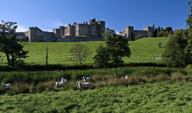 Alnwick Castle. With sheep in teh foreground stock images