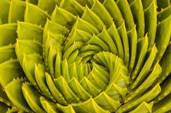 Aloès en spirale photographie stock