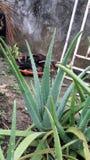 Aloès Plantas Images libres de droits