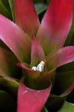 Aloès poussé des feuilles rouge avec les fleurs bleues Photos libres de droits