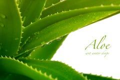 Aloès vera Images stock