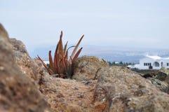 Aloès Vera Plant s'élevant sur une montagne photo stock